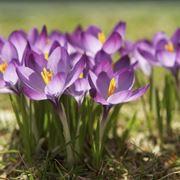 Domanda: Far fiorire i bulbi di fresia