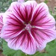 Gerani cura: Come curare i parassiti del geranio