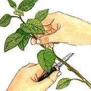 Un aiuto per far attecchire la talea: l'ormone radicante