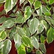Cura del Ficus Benjamin