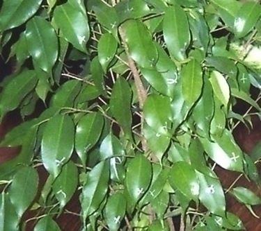 Malattie Frequenti Del Ficus Benjamin Ficus Beniamino Malattie