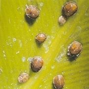 malattie del ficus benjamin-5