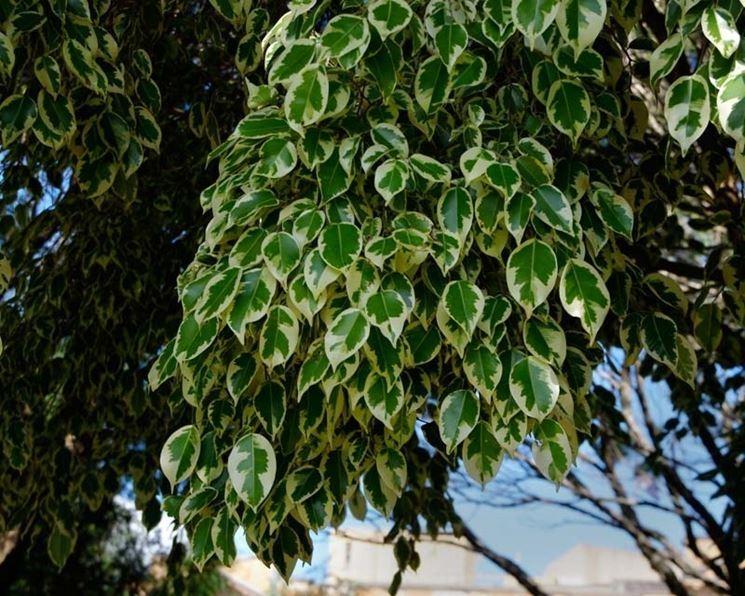 Malattie Del Ficus Benjamin 7