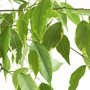 Parassiti del Ficus Benjamin