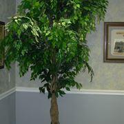 Riproduzione del Ficus Benjamin-1