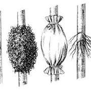 Riproduzione del Ficus Benjamin