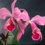 Catleia rosa