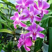 Come e quando annaffiare Dendrobium