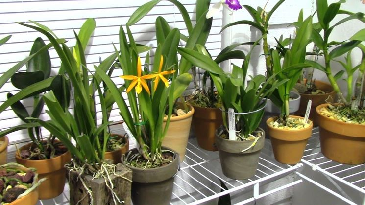 Concimazione orchidee orchidee concimazione orchidee for Concime per orchidee
