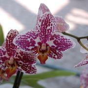 cura delle orchidee-9