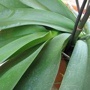 foglie orchidea-5