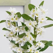 orchidee rare-4