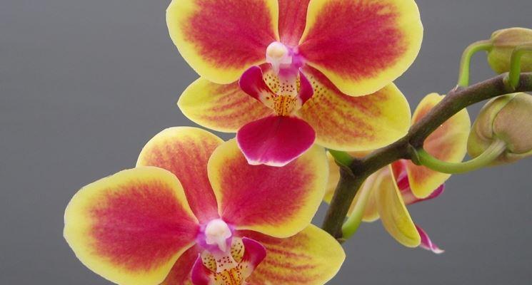 Posizione delle orchidee in appartamento orchidee - Orchidee da appartamento ...