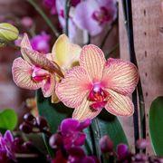 taglio delle orchidee