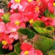 Begonia socotrana
