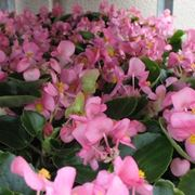 Coltivazione begonia tuberosa