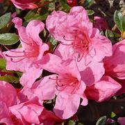 Domanda : azalea bonsai