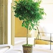 Domanda: Ficus benjamin