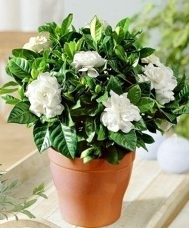 Domanda: Gardenia