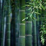Domanda: riconoscere un bambù