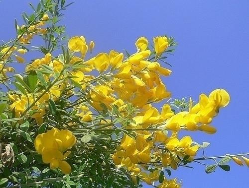 Ginestra perenne piante da appartamento ginestra 9 for Potatura margherite