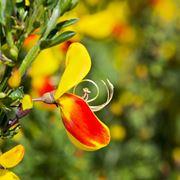 I fiori di ginestra: come sono fatti e dove crescono