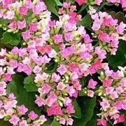 kalanchoe, una pianta infestante