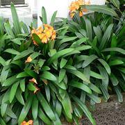 Le Amaryllidaceae: come coltivare la Clivia