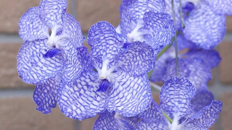 Caratteristiche dellorchidea blu piante da appartamento