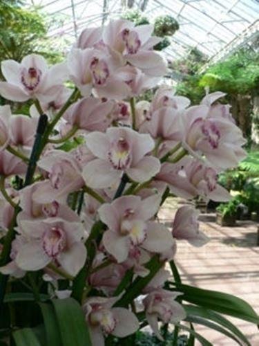 Piante Da Appartamento Orchidea.Coltivazione Orchidea Cymbidium Piante Da Appartamento