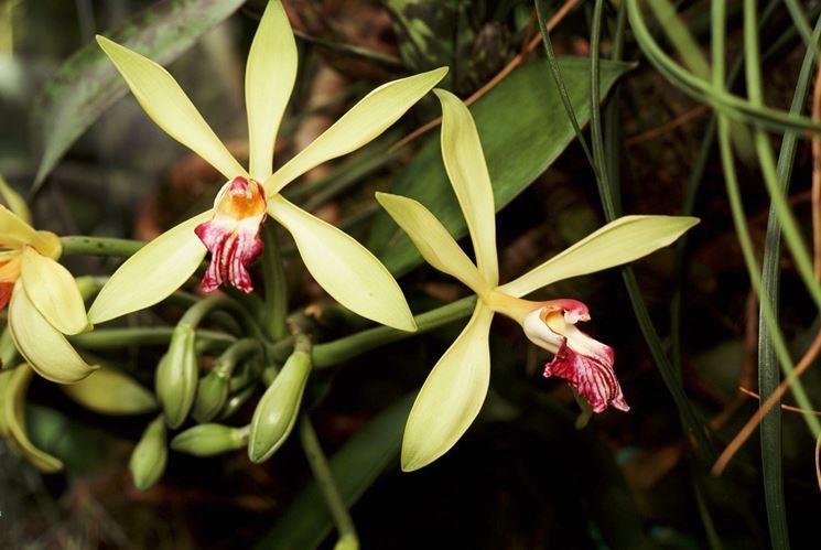 Orchidee brassia come coltivarle piante da appartamento - Orchidee da appartamento ...
