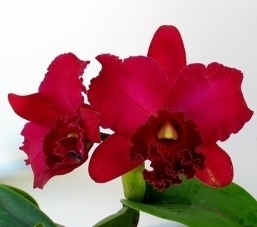 Coltivare le orchidee cattleya piante da appartamento - Orchidee da appartamento ...