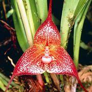 orchidee dracula