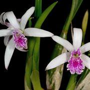 orchidee laelia