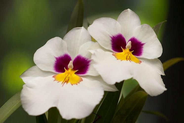 Le orchidee miltonia piante da appartamento orchidee - Orchidee da appartamento ...