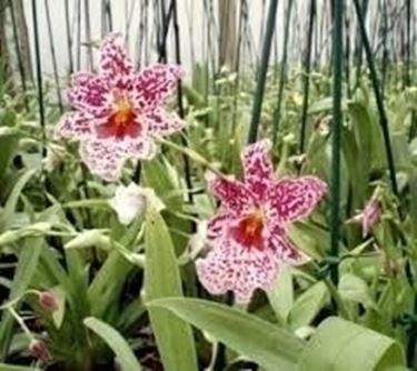 Piante Epifite Da Appartamento.Cura Dell Orchidee Miltonia Piante Da Appartamento Orchidee