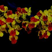 orchidee oncidium
