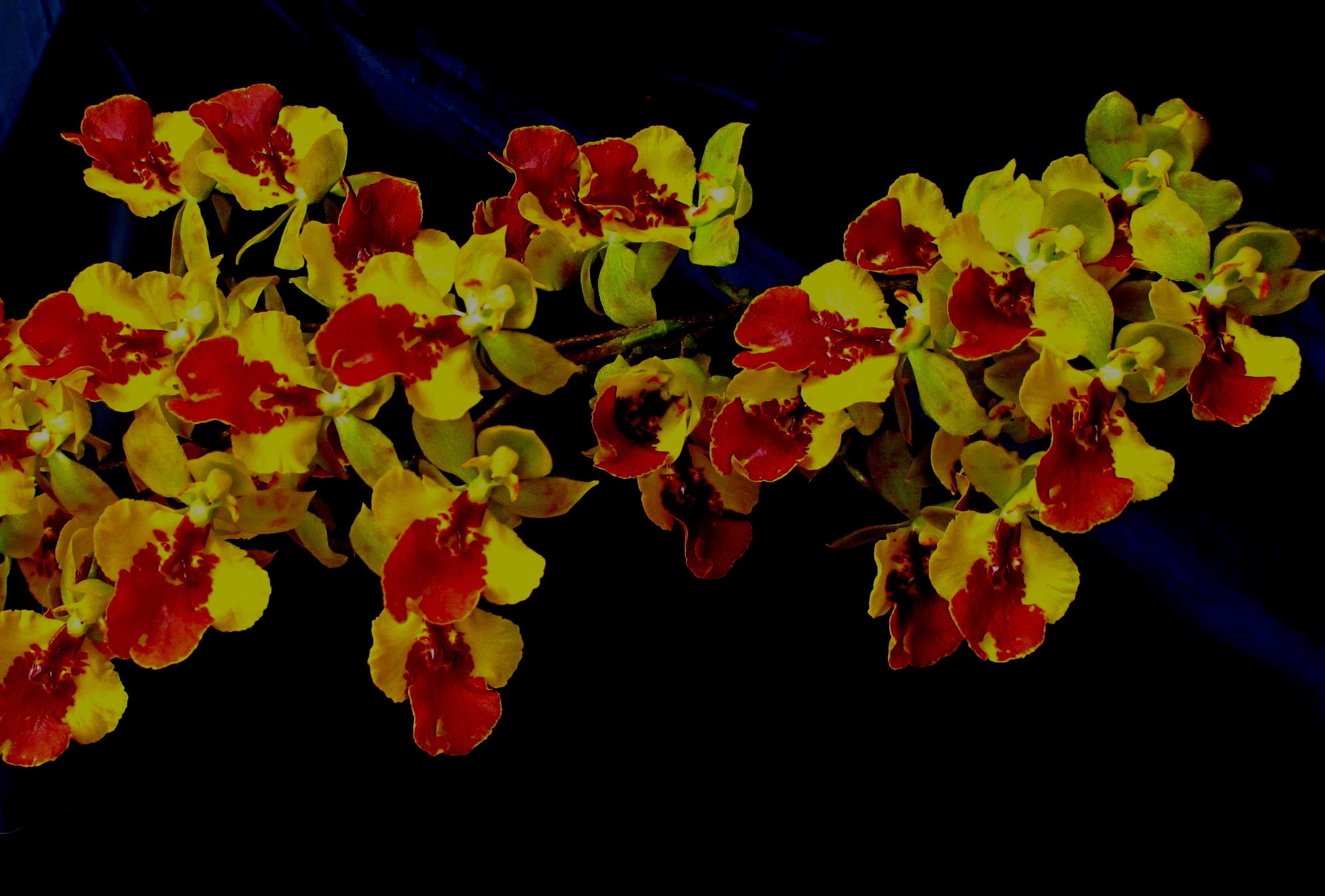 Orchidee oncidium piante da appartamento orchidee oncidium - Orchidee da appartamento ...