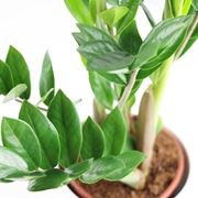 Risposta : zamioculcas con foglie gialle