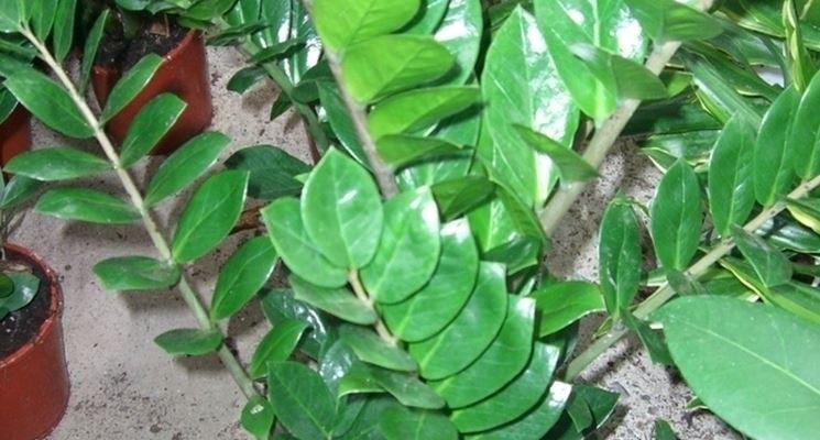 Zamioculcas piante da appartamento zamioculcas for Pianta zamioculcas