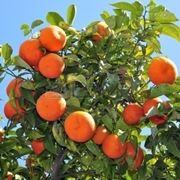 Arancio degli osagi