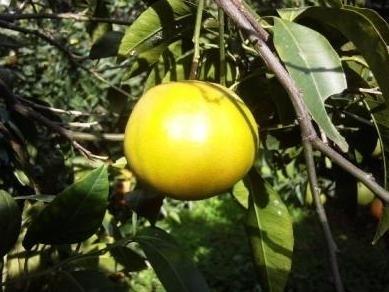 Mapo 1 agrumi mapo 1 for Mapo frutto