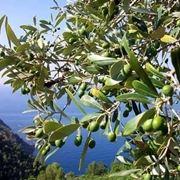 Domanda : bonsai di olivo