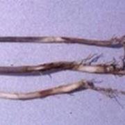 coltivazione orto: parassiti e malattie-4
