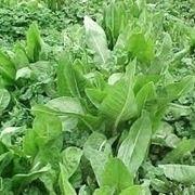 Come coltivare e prendersi cura della cicoria