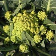 cavolo broccolo-5