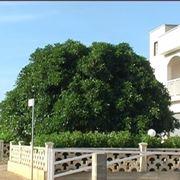 albero di ficus-1