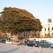 albero di ficus-4