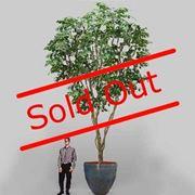 albero di ficus-5