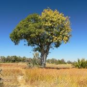 albero di ficus